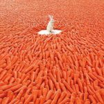 Rabbit in a field of carrots
