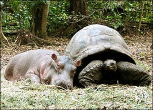 Hippo and turtle - Hippopotame et tortue