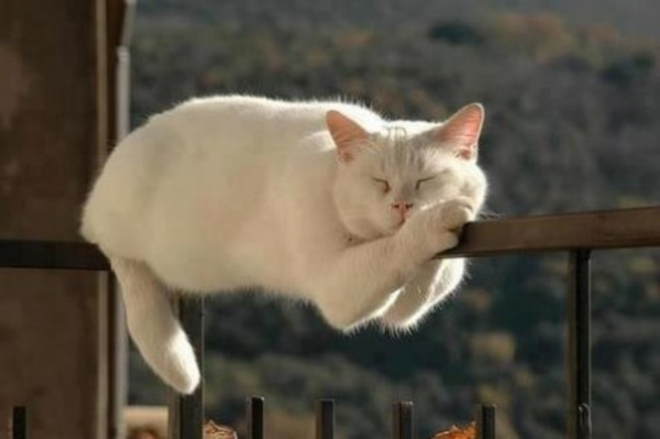 Chat blanc en train de domir